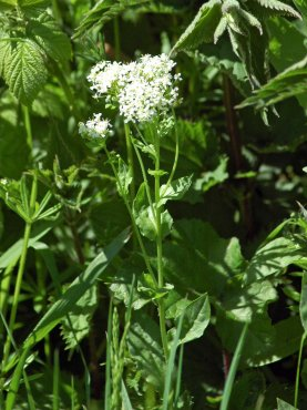 White-flowered Valerian