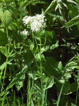 White-flowered Valerian