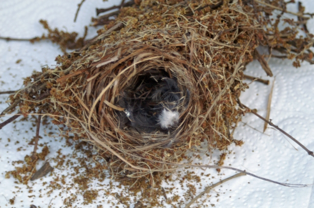 The nest of a pair of tiny Serin blown down from a tree, Sotogrande, Spain
