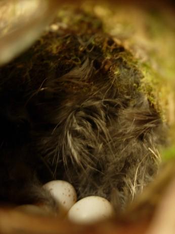 Interior of the wren's nest inside our light fitting