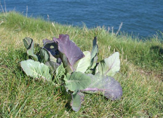 A wild cabbage plant growing on a more exposed grassy cliff of the Little Orme (Sept 2011)
