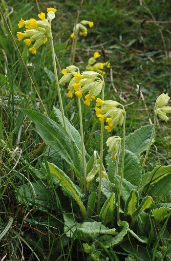 Cowslip- Primula veris