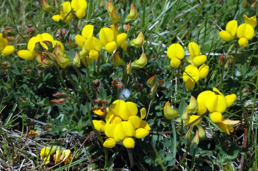 Bird's-foot Trefoil with Cuckoo Spit