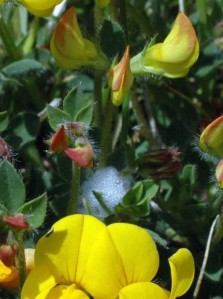 Cuckoo-spit low down amongst Bird's-foot Trefoil