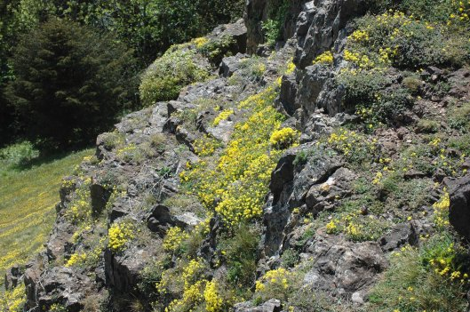 Cliff smothered with golden rockroses-Bryn Euryn, North Wales