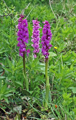 Early Purple Orchids-Orchis mascula
