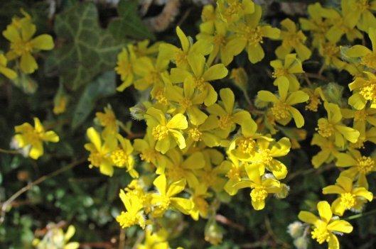 Hoary Rockrose flowers
