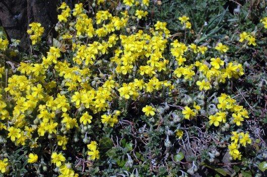 Hoary Rockrose-Helianthemum canum