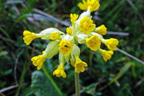 130522TGLNR-flr-Cowslip flowerhead with fly-Bryn Euryn (4)