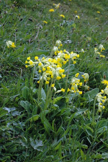 Cowslips and plaintains