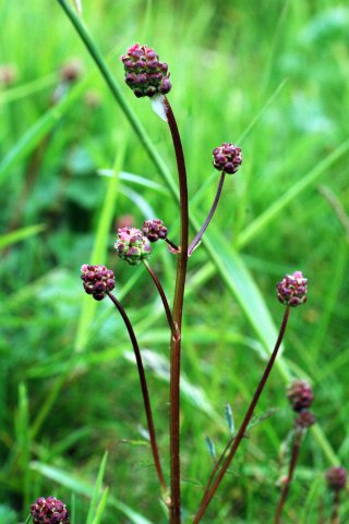 Salad Burnet-Sanguisorba minor