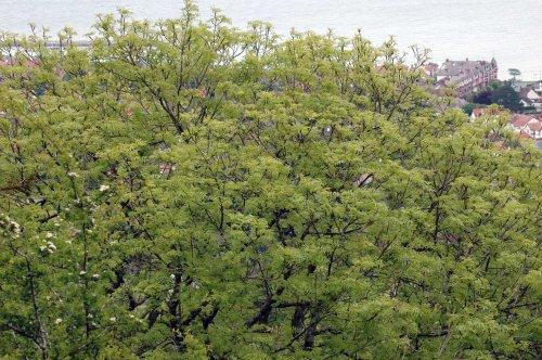 Ash tree on Bryn Euryn, Rhos-on-Sea behind