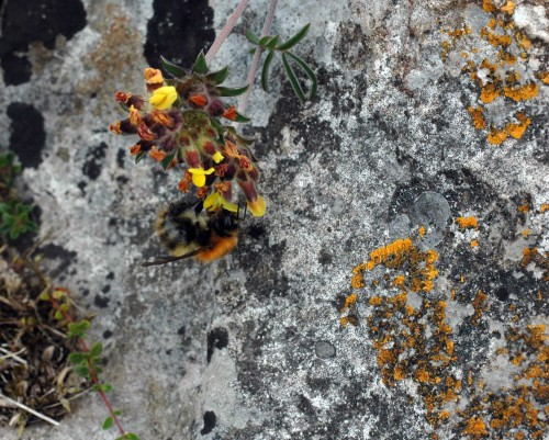 A small ginger bumblebee on Kidney Vetch