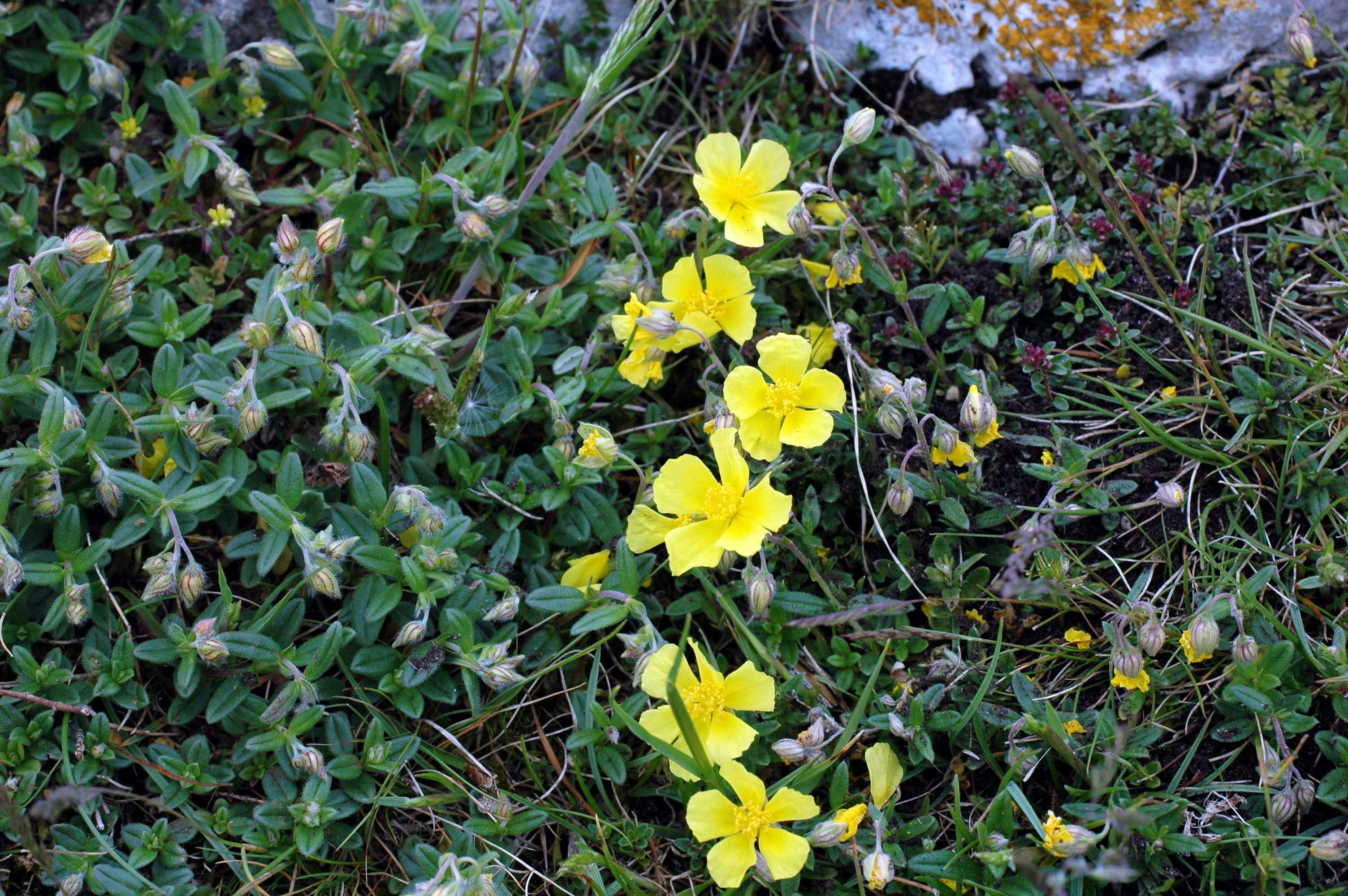 Wildflowers with yellow flowers everyday nature trails common rockrose helianthemum chemaecistus mightylinksfo
