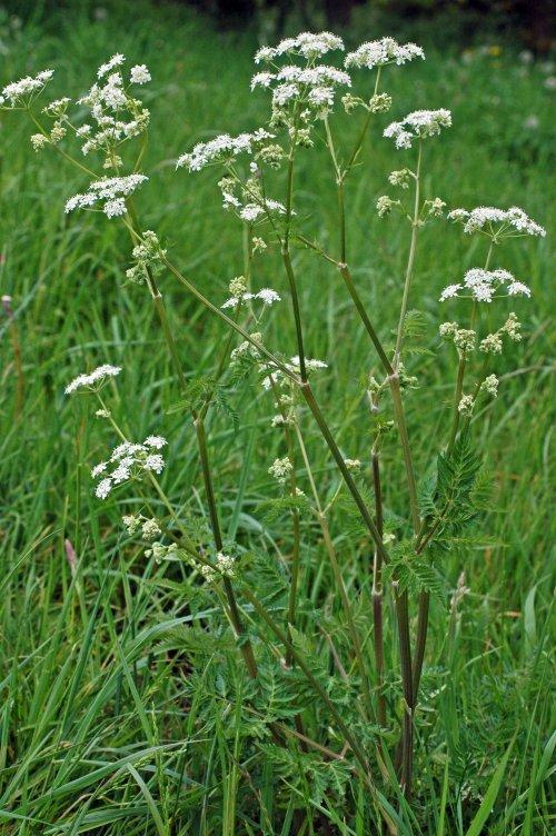 Cow parsley -Anthriscus sylvestris