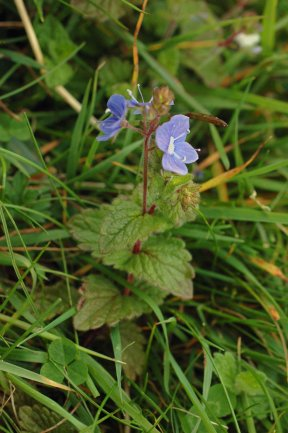 Germander Speedwell-Veronica chamaedrys