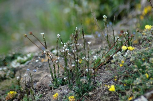 Hairy Rock Cress. Also in picture are kidney vetch, salad burnet & rockrose