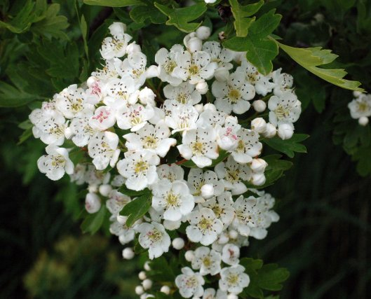 A beautiful spray of May blossom, or Hawthorn, looks like a bridal bouquet