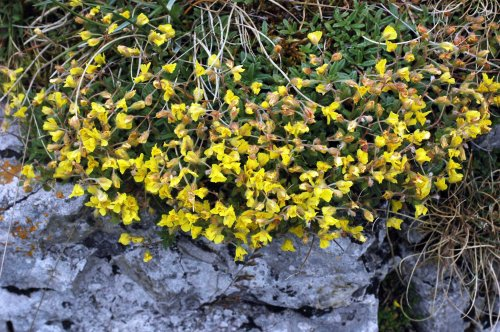 Flowers of Hoary Rockrose close on dull, sunless days