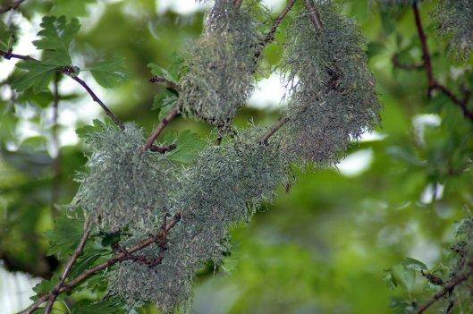 Oak Moss lichen- Usnea florida