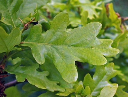 Fresh new oak leaves