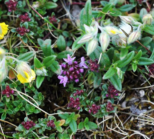 Wild Thyme growing with Common Rockrose