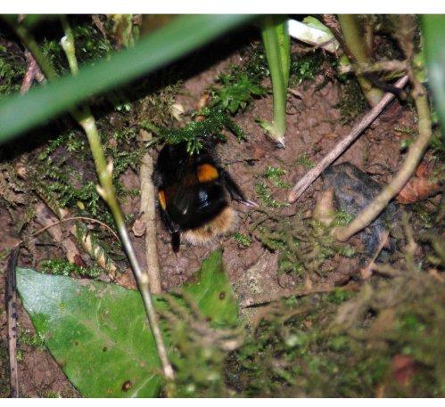 Buff-tailed Bumblebee making or seeking a hole