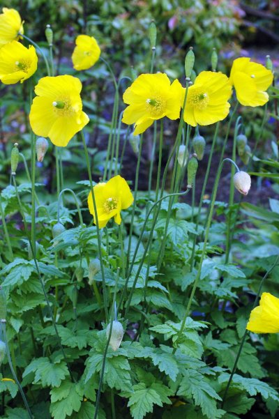 130603TGNT-Bodnant Gardens 016-More Welsh Poppies