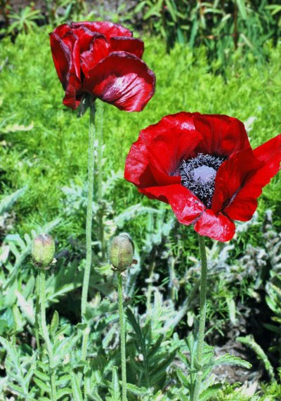 Poppies that don't look real