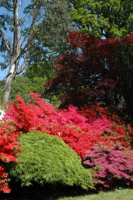 130603TGNT-Bodnant Gardens 11-Azaleas, bright green maple, eucalyptus & purple tree