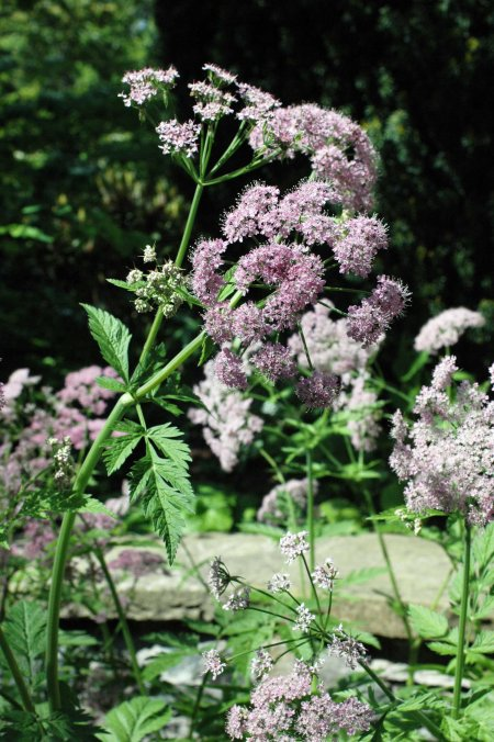 This plant resembled Cow-Parsley, but with a purple rinse