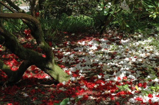 The rhododendrons are almost over and petals cover the ground beneath them