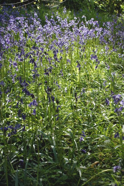 Bluebells are almost at the end of their flowering