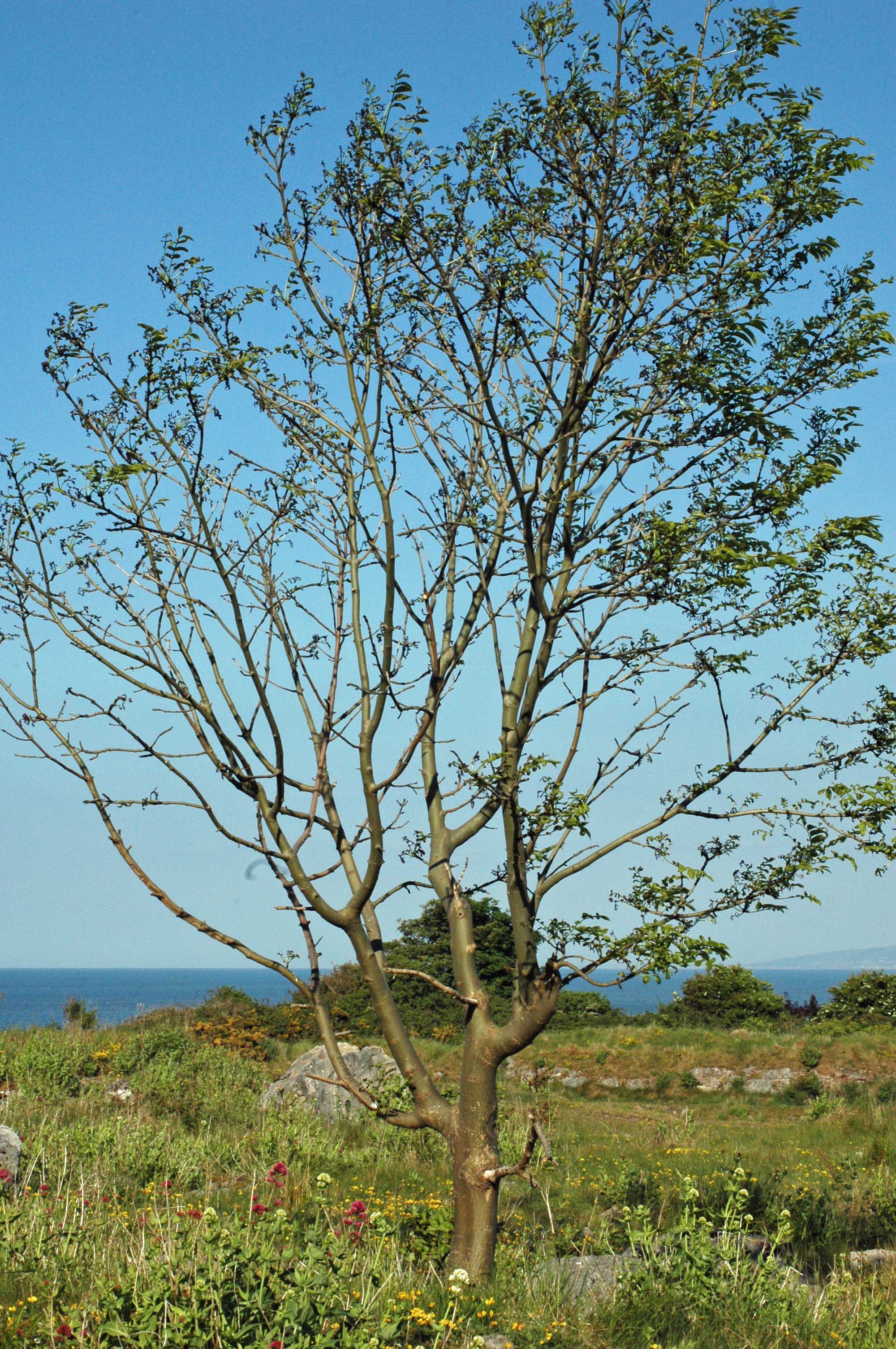 Walk on the little orme everyday nature trails for Short trees