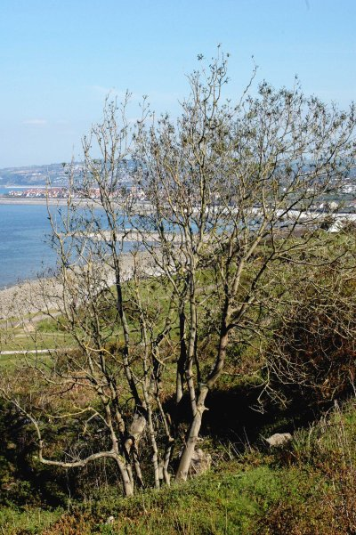 Ash tree with a view of Rhos-on-Sea and beyond