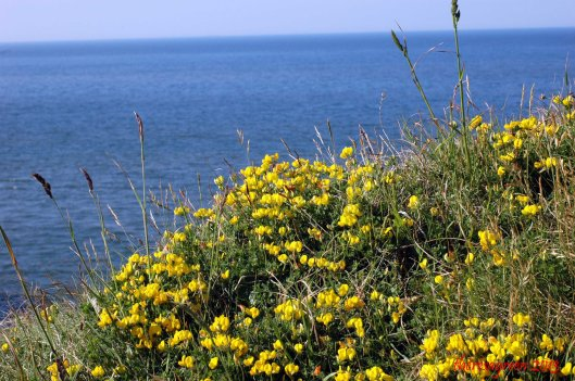 What could be prettier? Golden Bird's-foot Trefoil against a background of blue sea and sky