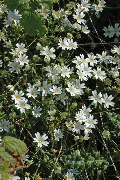 Greater Stitchwort-Stellaria holostea