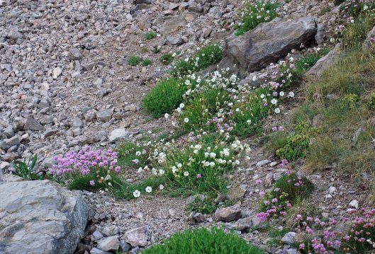 Thrift and Sea Campion on a scree slope at the bottom of a cliff wall