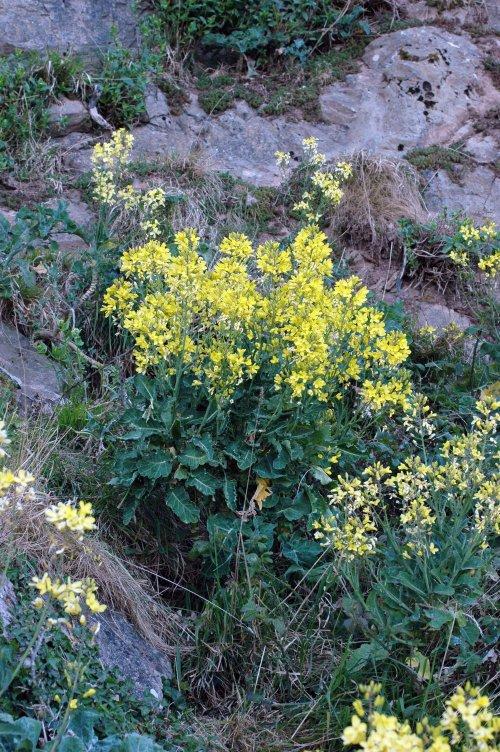 Wild Cabbage-Brassica olearacea