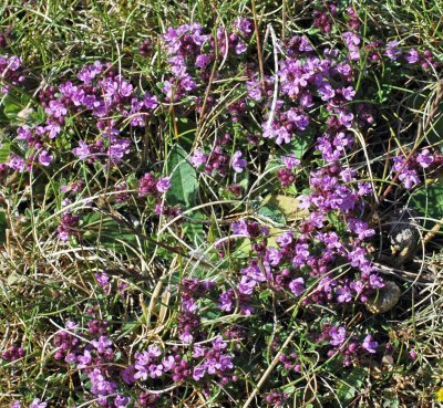 A small patch of newly-opened Wild Thyme