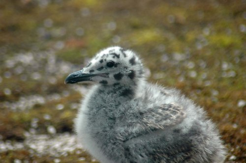 13/6/13-Herring Gull chick one week later