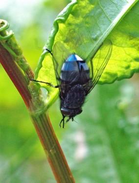 130613TGINCT- Bluebottle on dock leaf-Rhos-on-Sea garden