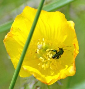 Oedemera nobilis feeding on pollen