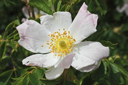 Dog Rose- Rosa canina