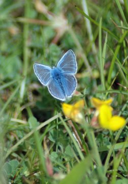 A Common Blue male taking off from Bird's-foot Trefoil