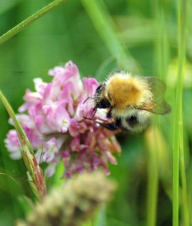 Common Carder Bee on red clover