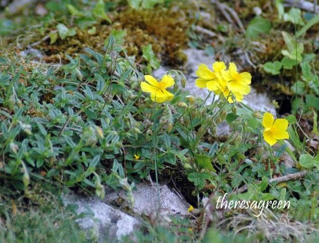 Common Rockrose-Helianthemum rummularium-Bryn Pydew