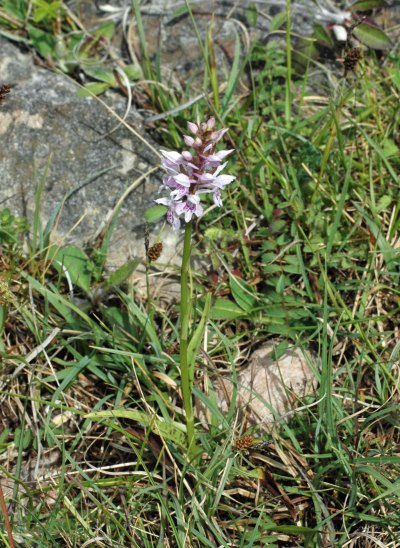 Heath-spotted Orchid- Dactylorhiza maculata