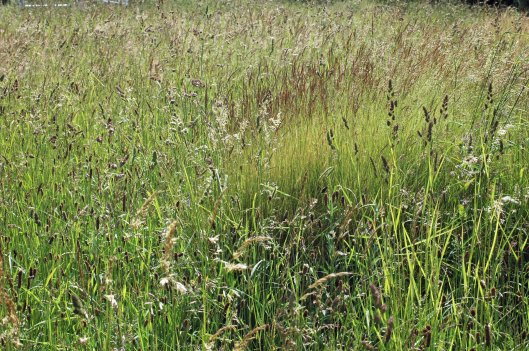 A lush display of tall meadow grasses