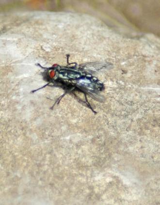 Flesh-fly-Sarcophoga carnaria